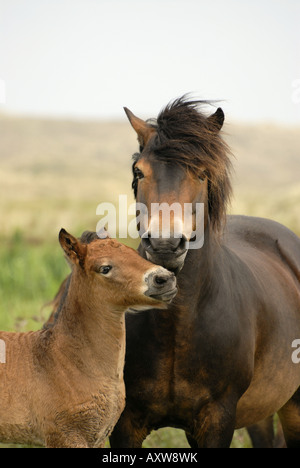 Exmoor pony (Equus przewalskii f. caballus), portrait colt with mare free ranging, Netherlands, Texel - Stock Photo