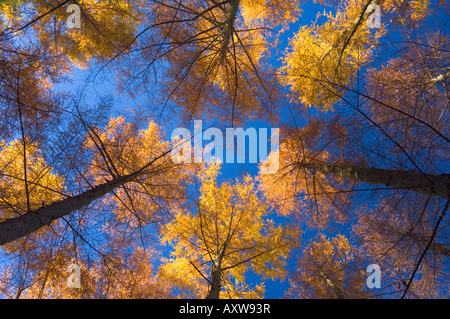 Japanese larches, Hanmer Springs, Canterbury, South Island, New Zealand, Pacific - Stock Photo