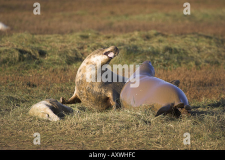 Two adult grey seals fighting Halichoerus grypus also known as the Atlantic seal UK British wildlife mammal - Stock Photo