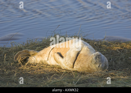 Grey seal pup Halichoerus grypus also known as the Atlantic seal UK British wildlife mammal Young pup with white - Stock Photo