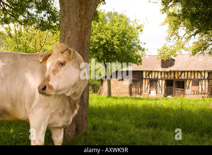 A cow in front of a traditional old half timbered barn in Normandy, France, Europe
