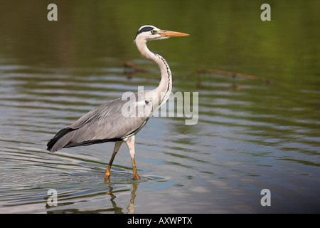 Grey heron (Ardea cinerea), Kruger National Park, Mpumalanga, South Africa, Africa - Stock Photo