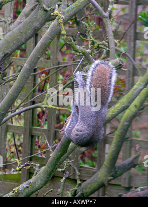 grey squirrel clinging hold of bird feeder and pinching nuts put out for the garden birds - Stock Photo