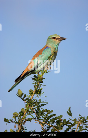European roller (Coracias garrulus), Kruger National Park, South Africa, Africa - Stock Photo