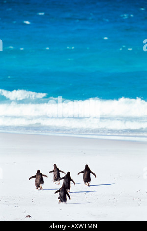 King penguins (Aptenodytes patagonicus) running into the sea, Volunteer Point, East Falkland, Falkland Islands, - Stock Photo