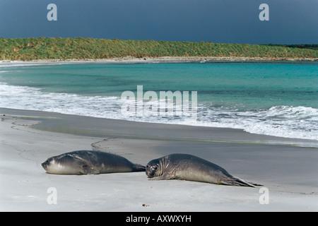 Elephant seals relaxing on the beach, Sea Lion Island, Falkland Islands, South Atlantic, South America - Stock Photo