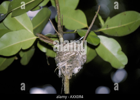 Seychelles Black Paradise Flycatcher Terpsiphone corvina Female at nest - Stock Photo