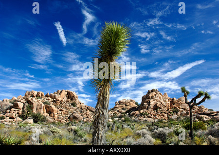 A Joshua Tree against a blue sky and boulders in the Joshua Tree National Park Southern California - Stock Photo