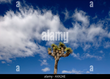 A lone Joshua palm tree is silhouetted against puffy clouds in Joshua Tree National Park in the Mojave Desert in - Stock Photo