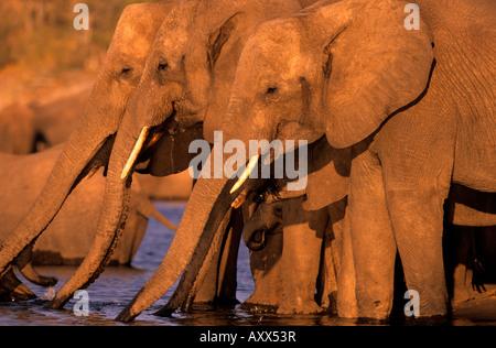African Elephant, (Loxodonta africana), Chobe River, Chobe National Park, Botswana - Stock Photo