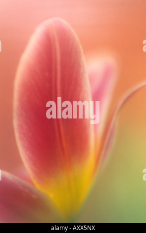 Tulip, (Tulipa spec), Bielefeld, NRW, Germany - Stock Photo