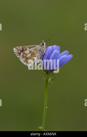 Olive Skipper Butterfly - Stock Photo