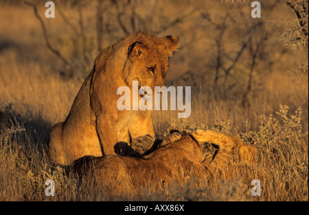 Lion, (Panthera leo), Etoscha National Park, Namibia - Stock Photo