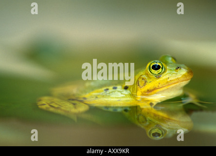 European Edible Frog, Rana esculenta, Bielefeld, NRW, Germany - Stock Photo