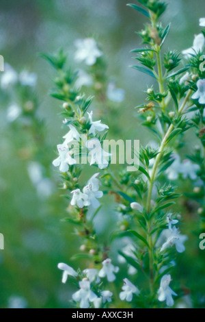 Savory, Summer savory, Summer, Satureia hortensis, White, Satureia, hortensis - Stock Photo