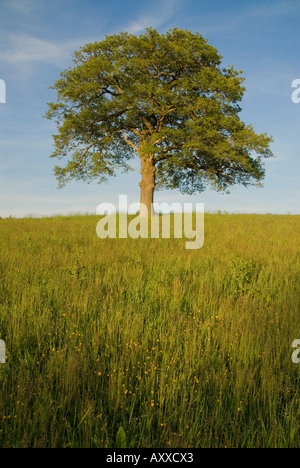 europe UK England Surrey solitary oak tree and wildflowers in field - Stock Photo