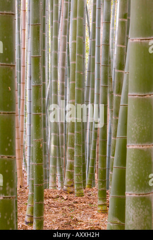 Close-up of stems, Bamboo Forest, Sagano, Ukyo Ward, Arashiyama, Kyoto, Kansai region, island of Honshu, Japan, - Stock Photo