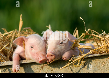 Domestic Pig, (Sus scrofa domesticus), Bynde, Nordrhein Westfalen, Germany - Stock Photo