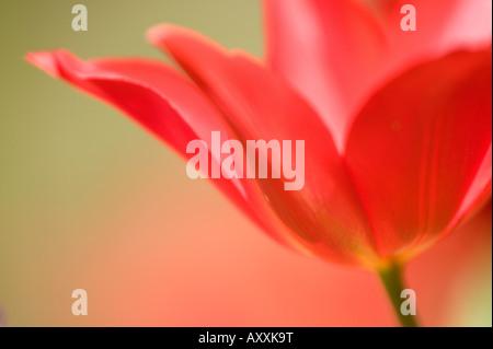 Tulip, (Tulipa spec.), Bielefeld, NRW, Germany - Stock Photo