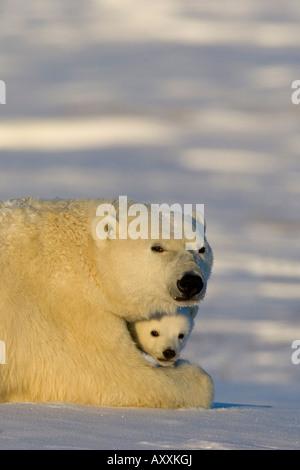 Polar Bear with cubs, (Ursus maritimus), Churchill, Manitoba, Canada - Stock Photo