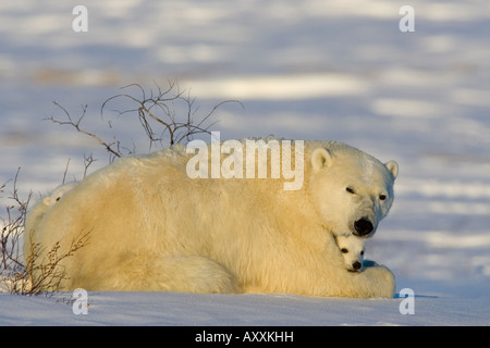 Polar Bear with cubs, (Ursus maritimus), Churchill, Manitoba, Canada - Stock Photo