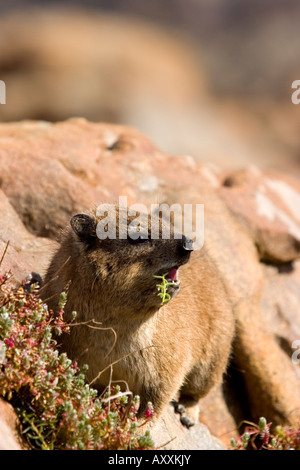 Rock Dassie, (Procavia capensis), Cape of the good hope, Capetown, South Africa - Stock Photo