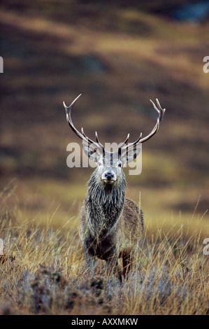 Red deer stag (Cervus elaphus) in autumn, Glen Strathfarrar, Inverness-shire, Highland Region, Scotland, United - Stock Photo