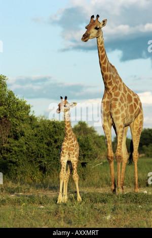 Adult and young giraffe (Giraffa camelopardalis), Etosha National Park, Namibia, Africa - Stock Photo