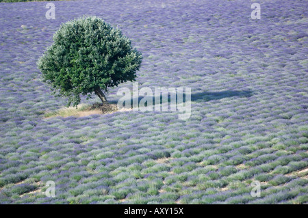 Tree in a Lavender Field, Luberon, France - Stock Photo