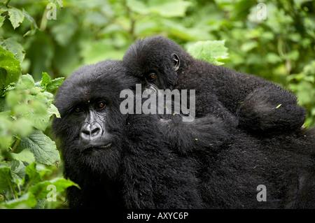 Adult female mountain gorilla with infant riding on her back, Amahoro A group, Volcanoes National Park, Rwanda - Stock Photo