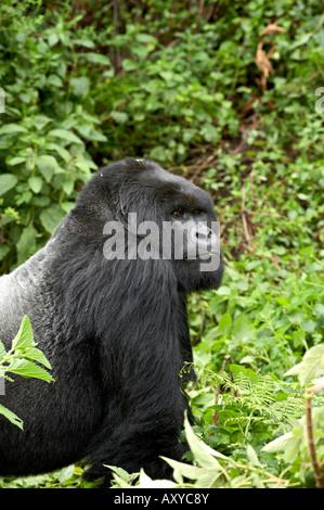 Silverback mountain gorilla (Gorilla gorilla beringei) of Shinda group, Volcanoes National Park, Rwanda, Africa - Stock Photo