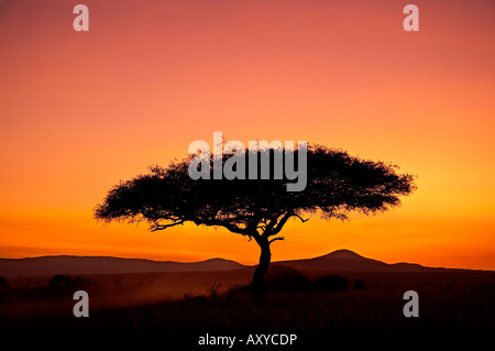 Acacia tree silhouetted at dawn, Masai Mara Game Reserve, Kenya, East Africa, Africa - Stock Photo