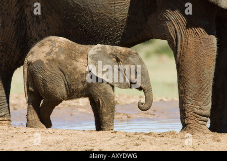 Baby African elephant (Loxodonta africana) standing by its mother, Addo Elephant National Park, South Africa, Africa - Stock Photo