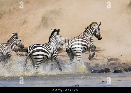 Common zebra or Burchell's zebra (Equus burchelli) crossing the Mara River, Masai Mara National Reserve, Kenya, - Stock Photo