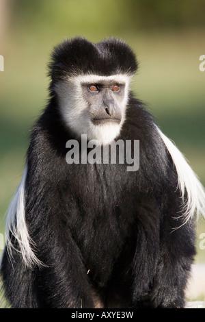 Black and white colobus monkey (Colobus guereza), Lake Naivasha, Kenya, East Africa, Africa - Stock Photo