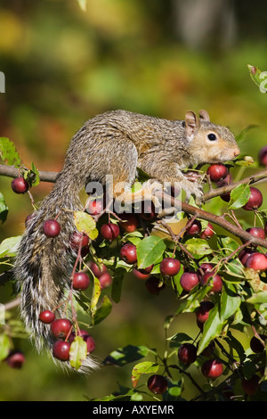 Eastern gray squirrel in a crab apple tree, in captivity, Minnesota Wildlife Connection, Sandstone, Minnesota, USA - Stock Photo