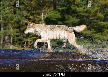 Gray wolf (Canis lupus) running through water, in captivity, Minnesota Wildlife Connection, Sandstone, Minnesota, - Stock Photo