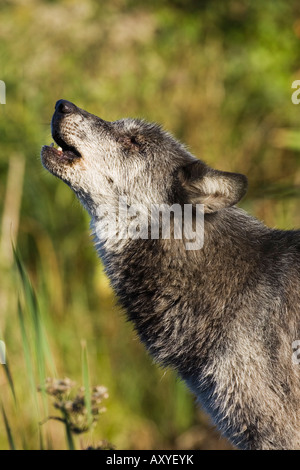 Gray wolf (Canis lupus) howling, in captivity, Minnesota Wildlife Connection, Minnesota, United States of America, - Stock Photo