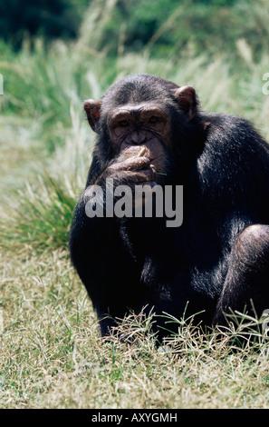 Chimpanzee (Pan troglodytes) in captivity, Uganda Wildlife Education Centre, Ngamba Island, Uganda, East Africa, - Stock Photo