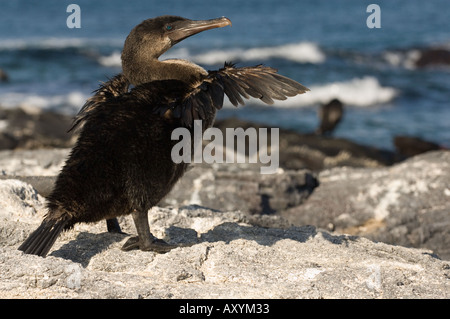 Flightless cormorant (Nannopterum harrisi) drying its stunted wings Punta Espinosa Fernardina Galapagos Islands - Stock Photo