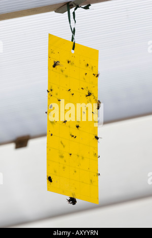Dead flies on sticky yellow fly paper hanging up indoors - Stock Photo