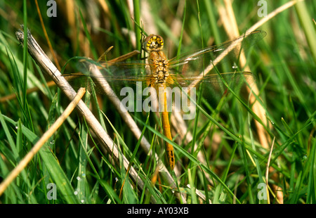 Red-veined Darter Sympetrum fonscolombii adult dragonfly at rest on grass, Potteric Carr NR, Doncaster, South Yorkshire, - Stock Photo
