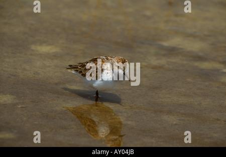 Little Stint Calidris minuta adult on one leg in shallow water, Lesvos, Greece - Stock Photo