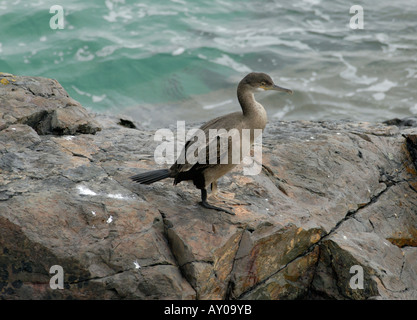 Immature Shag Phalacrocorax aristotelis standing on a rock - Stock Photo