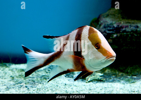 Red Emperor Snapper - Stock Photo
