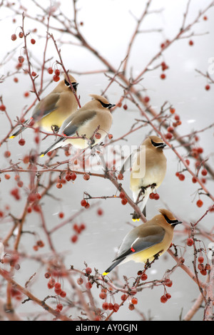 Cedar Waxwings perched in Crabapple Berries and Snow - Vertical - Stock Photo
