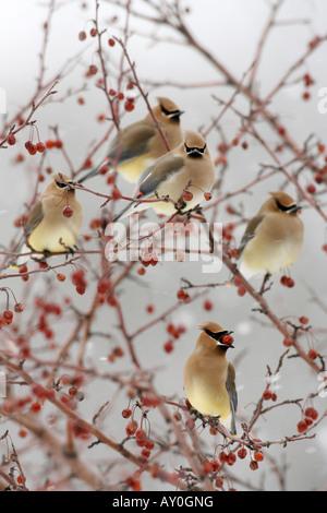 Cedar Waxwings perched in Crabapple Berries - Vertical - Stock Photo