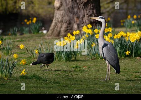Grey heron Ardea cinerea Regents Park London spring - Stock Photo