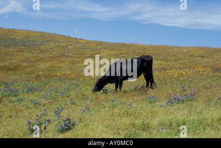 Cow grazing in the field of wild flowers near the village of Chugchilan near Latacunga in the Cotopaxi province - Stock Photo