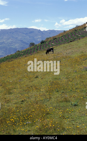 Cow in the field of wild flowers near the village of Chugchilan near Latacunga in the Cotopaxi province in Ecuador - Stock Photo